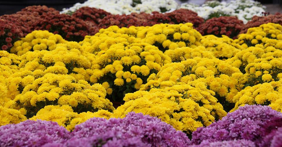 Os Crisantemos são purificadores de ar e verdadeiros arranjos de flores