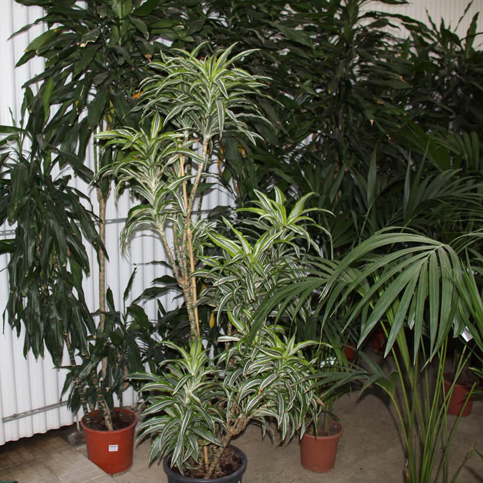 Dracaena, uma planta de interior que purifica o ar